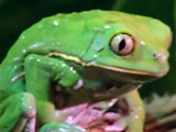 The Waxy Monkey Frog