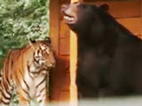 Unlikely Friendships, Lion, Tiger and Bear