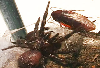 Deadly Female Funnel Web Spider