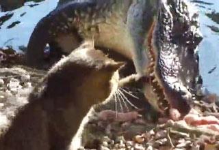 Bad Dog Cat Fights Alligator