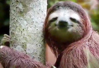 Sloths Pooping