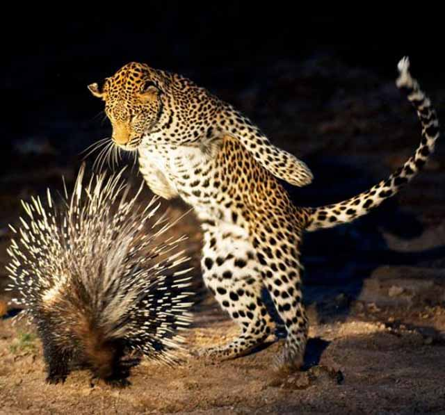 7 - Cheetah curiously checking out a hedgehog