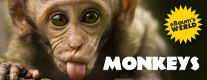 awesome collection of funny monkeys/ videos pictures galleries and gifs