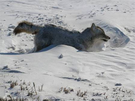 Image result for dead wolf frozen