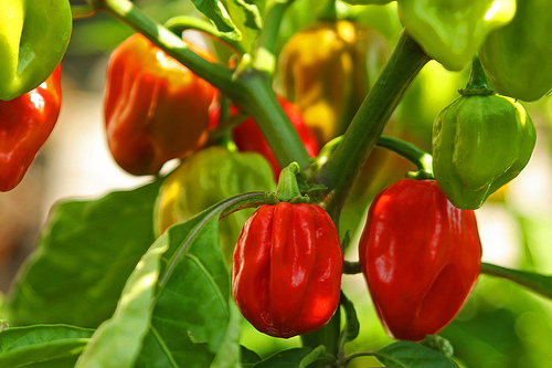 Top ten hottest peppers in the world gallery ebaum 39 s world - Best romanian pepper cultivars ...