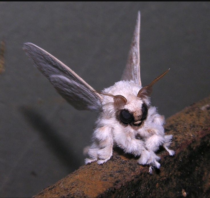 11 - Venezuelan Poodle Moth