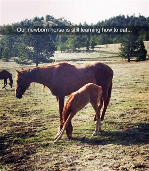 20 - Snapchat meme of a young colt horse learning how to eat.