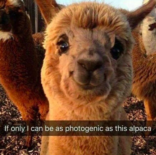 31 - highly photogenic snapchat of an alpaca