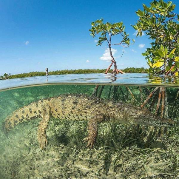 11 - Great pic of an alligator underwater.