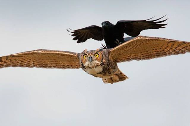 3 - Crow riding on the back of an owl.