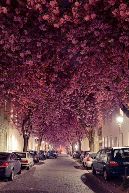 6 - These breathtaking cherry blossoms line a street in Bonn, Germany.