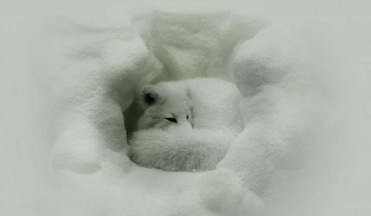 23 - Arctic fox settles in for sleep