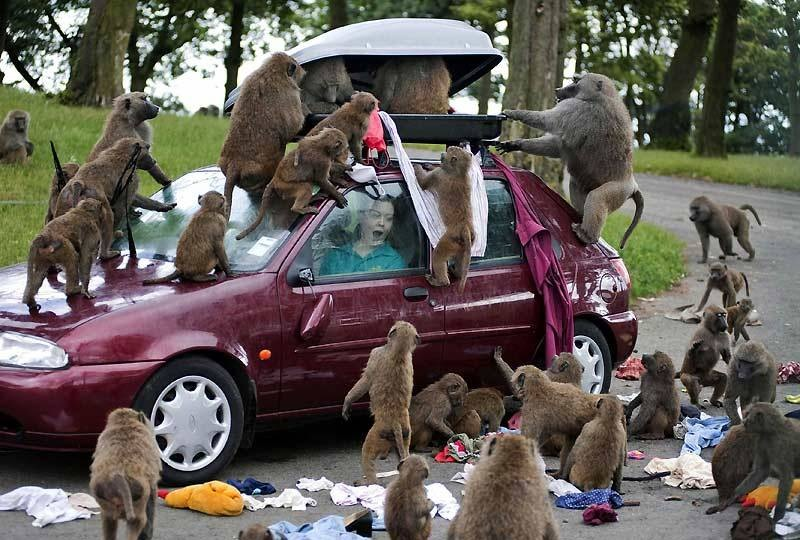 11 - Funny picture of a car being picked apart by a large group of monkeys.