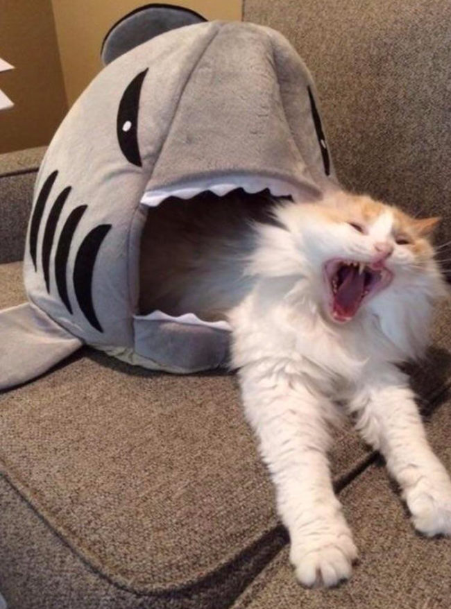 13 - Funny picture of a cat yawning while sleeping in a shark shaped bed.
