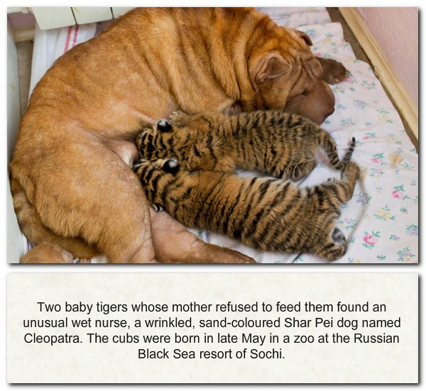 Pei Rating: Shar Pei And Baby Tigers - Picture