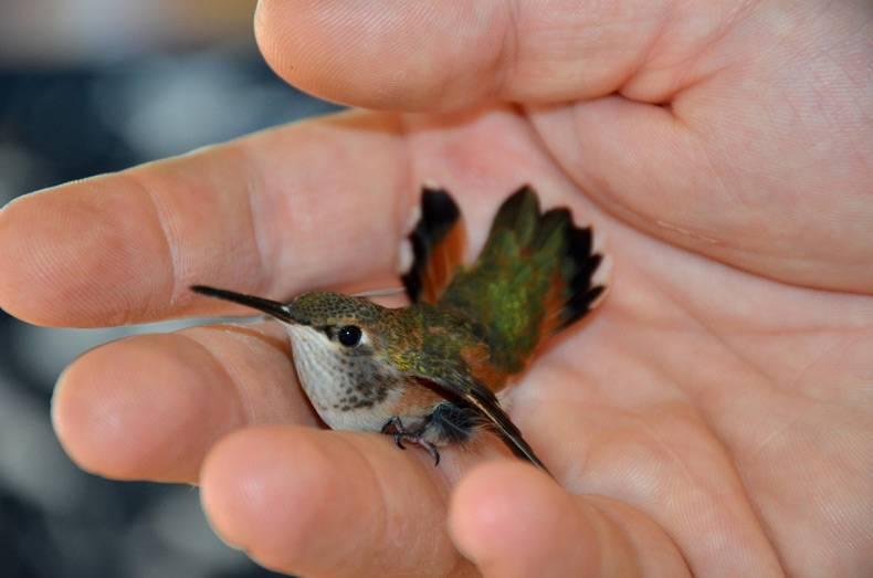 Колибри в домашних условиях 506