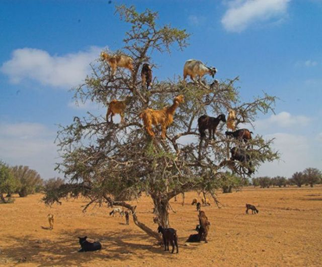 11 - In Morocco, goats often climb Argan trees in search of food.