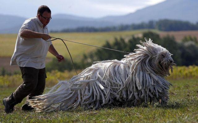 9 - Komondor, Hungarian breed of livestock guardian dog.