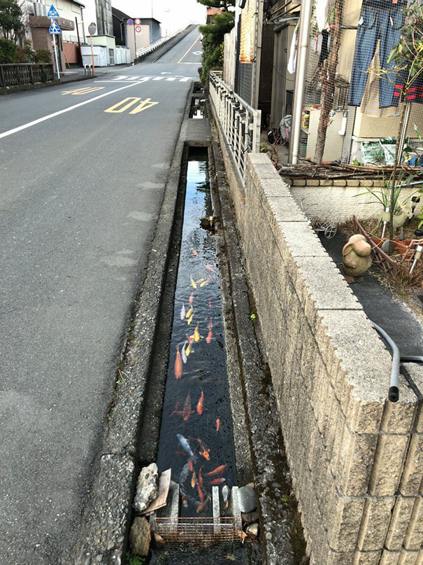12 - Koi fish live in drainage channels.