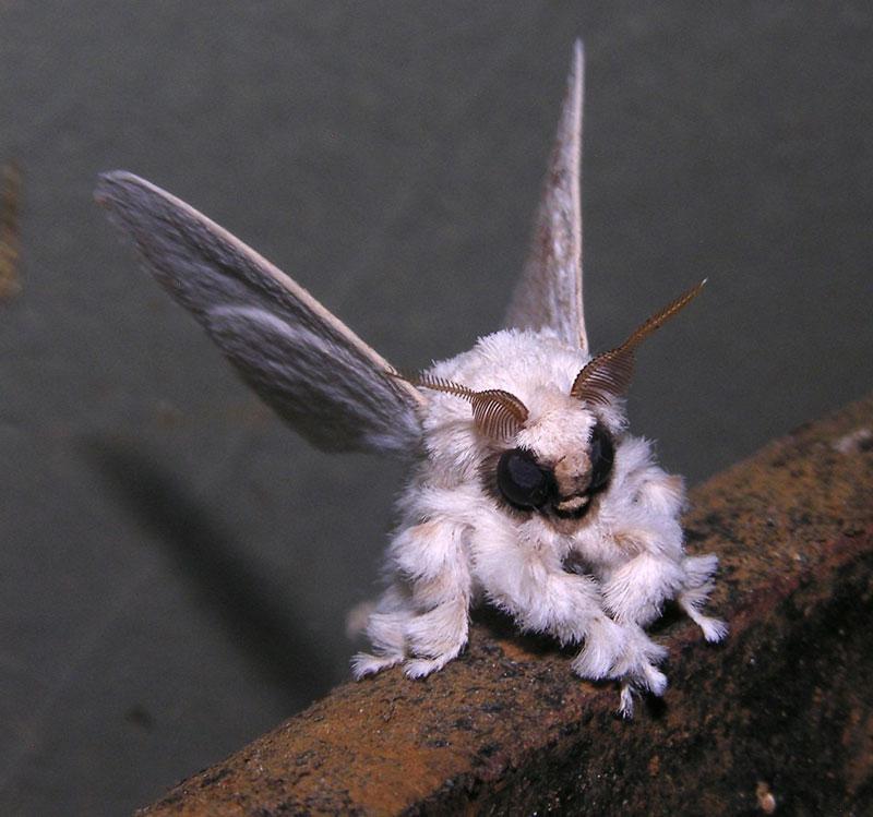 3 - Venezuelan Poodle Moth