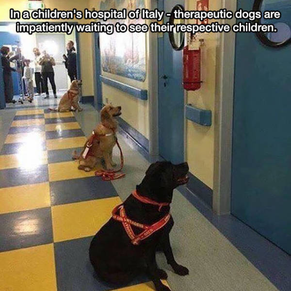 4 - Cute service dogs waiting outside their patient rooms in the hospital's children's ward.