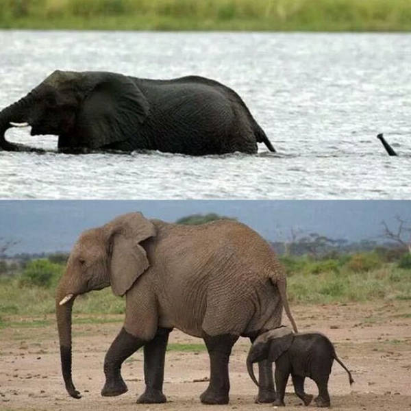 38 - Cute elephant is breathing underwater using his trunk to cross the river.