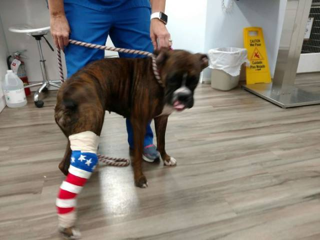 13 - Dog with a cast painted like the American flag.