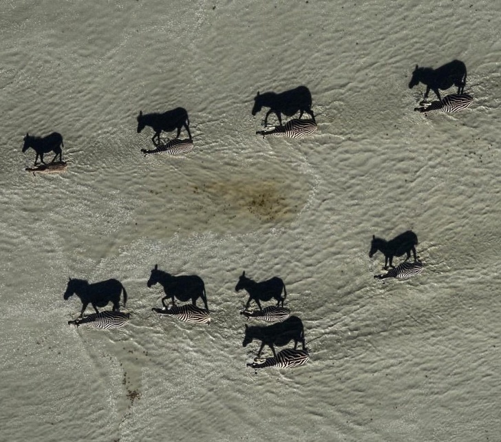 25 - When shadows become dominant! This interesting pic of zebras crossing the salt pans was shot in Makgadikgadi, Botswana