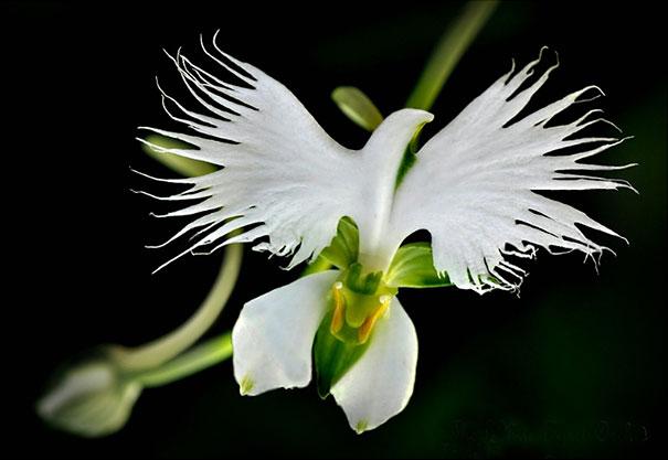 31 white egret orchid habenaria radiata
