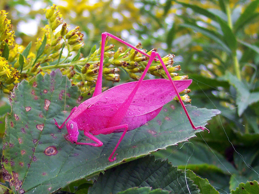 4 -  These are real pink bugs as a result of a genetic mutation.