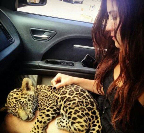 8 - Woman sitting in a car with a baby leopard or cheetah sleeping on her lap