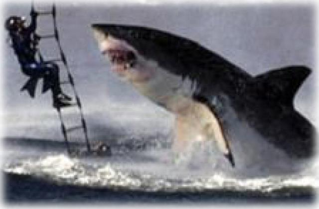 Great white shark jumping at a helicopter during training