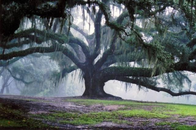 27 - 350-year-old, 90-foot-tall bur oak tree in Missouri