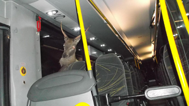 10 - This deer gets hit by the bus then decides to stay for an hour sitting in a passenger seat after fighting the bus driver.