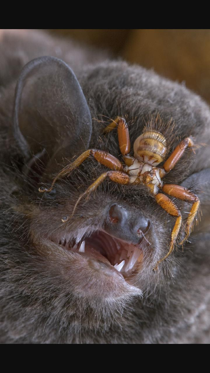 36 - This horrifying parasite is a wingless fly that attaches itself to a bat's head and sucks its blood.