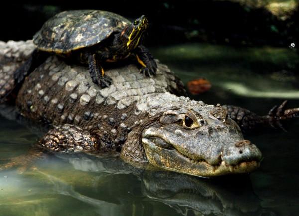 84767373 bad ass turtles riding alligators like a boss gallery ebaum's world