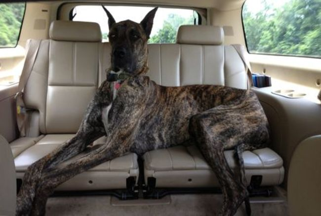 13 Things All Great Dane Owners Will Understand Gallery