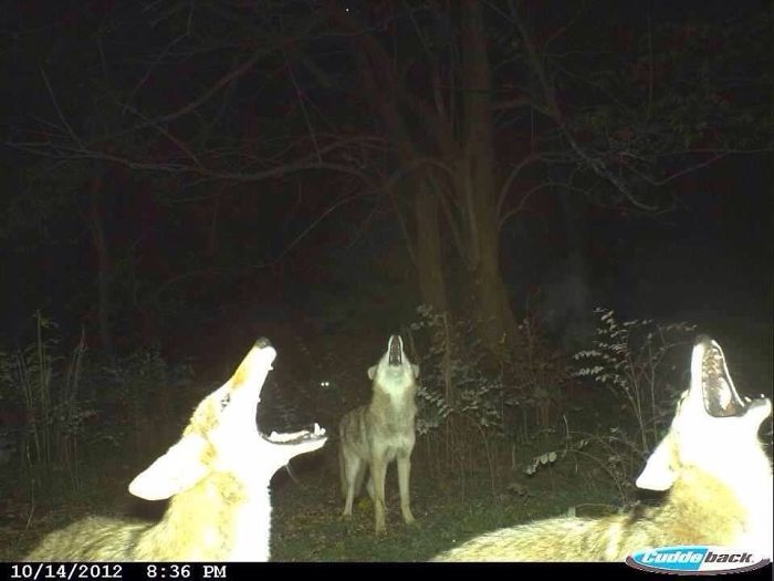 36 - 37 Times Hidden Cameras Revealed What Animals Do When Nobody Is Watching