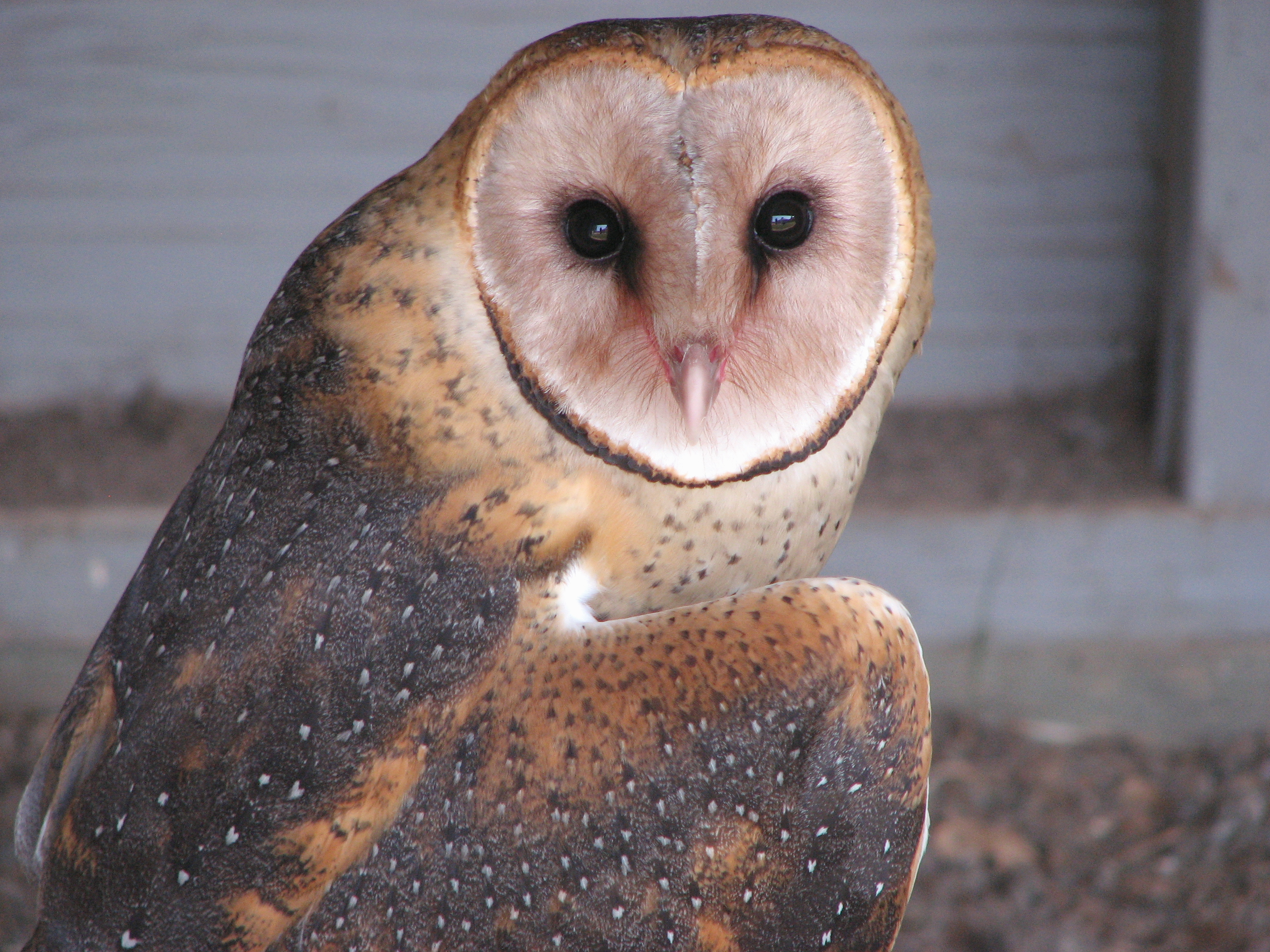 Barn owls creepy but cute gallery ebaums world 3 they have many nicknames but the one being monkey faced owl buycottarizona
