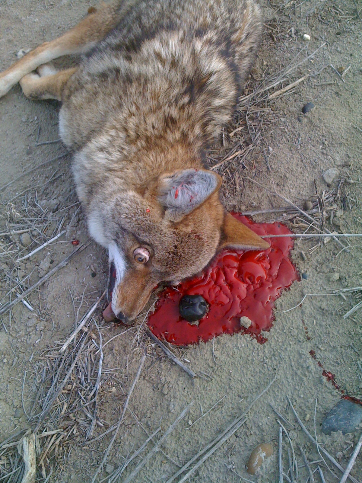 Best Coyote Kill Ever - Picture