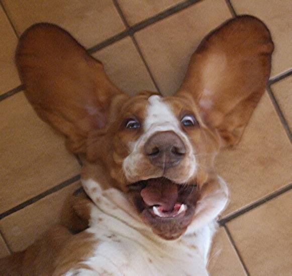 how to keep dog ears down