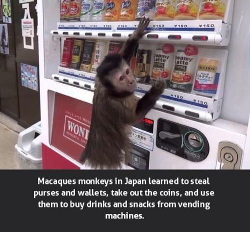7 - Meme about monkeys in Japan that learned to steal purses and wallets to get coins to use to buy drinks and snacks.