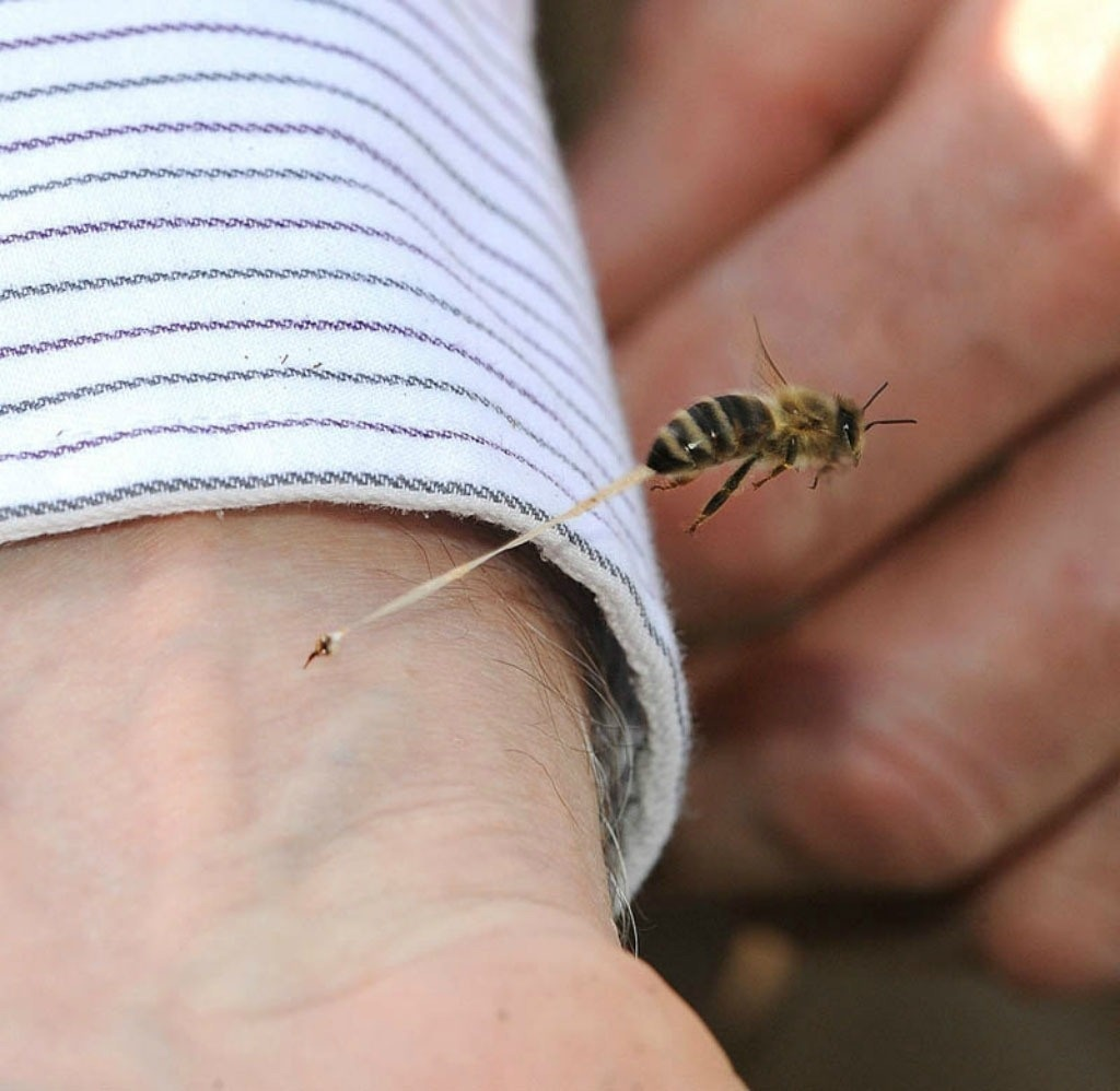 7 -  An action shot of a honeybee giving someone it's final sting.