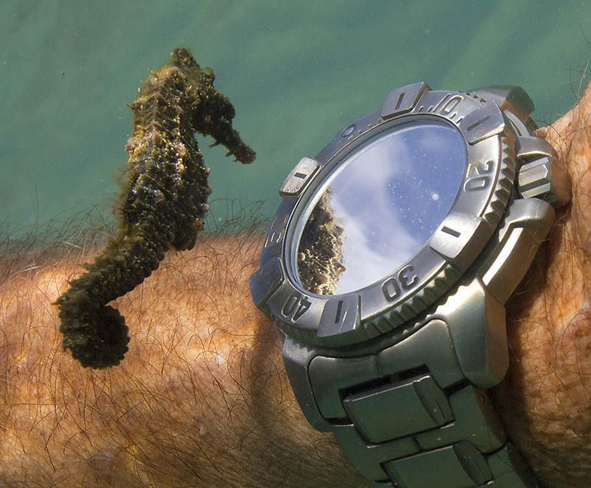 14 -  A still shot of a seahorse taking a moment to gaze at a diver's watch.