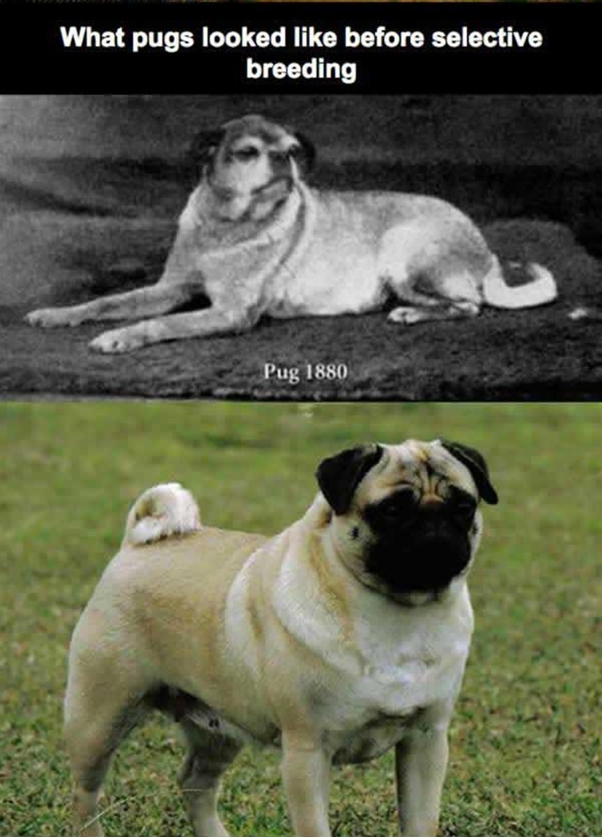 23 -  What pugs looked like then compared to now (prior to selective breeding).