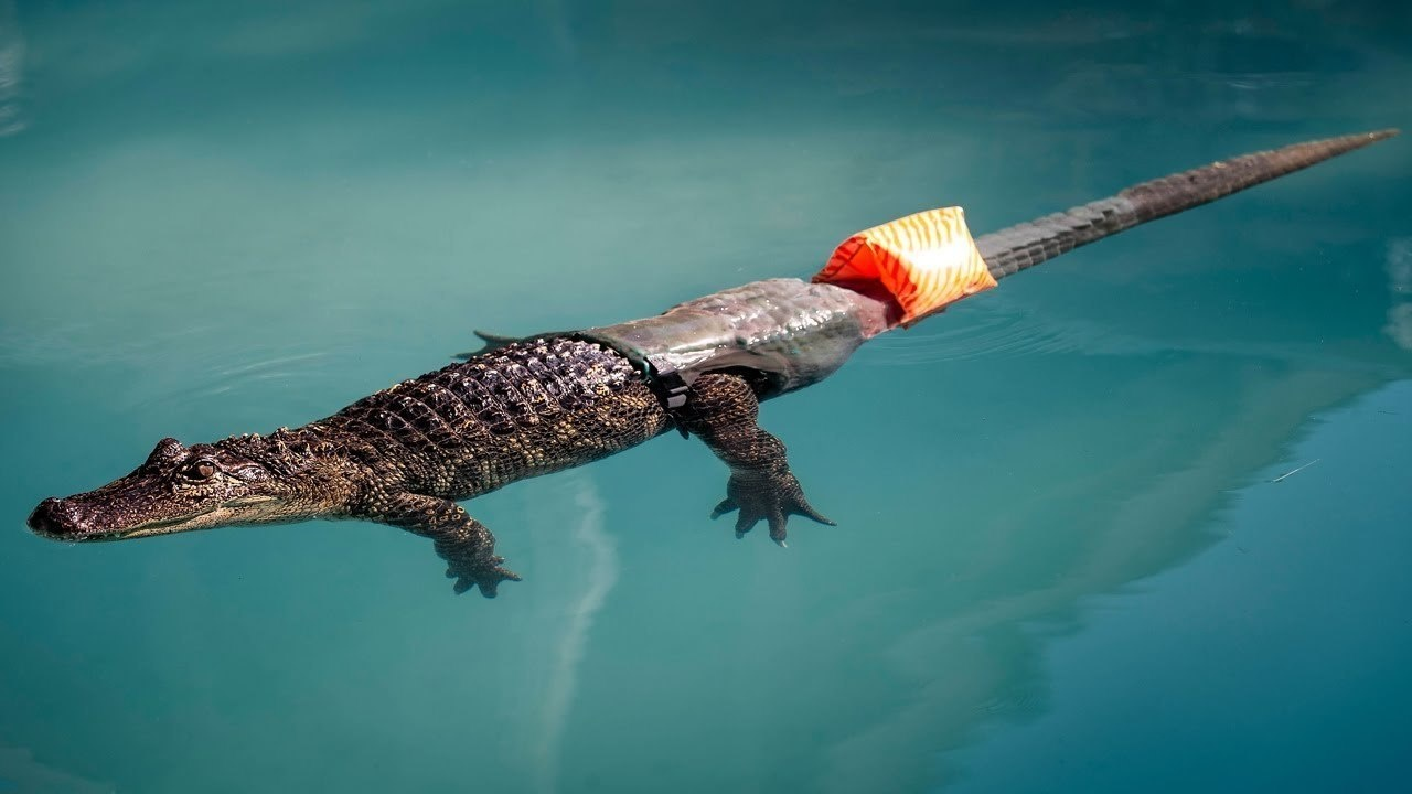 26 -  The world's first prosthetic tail ever for an alligator created to help it swim.