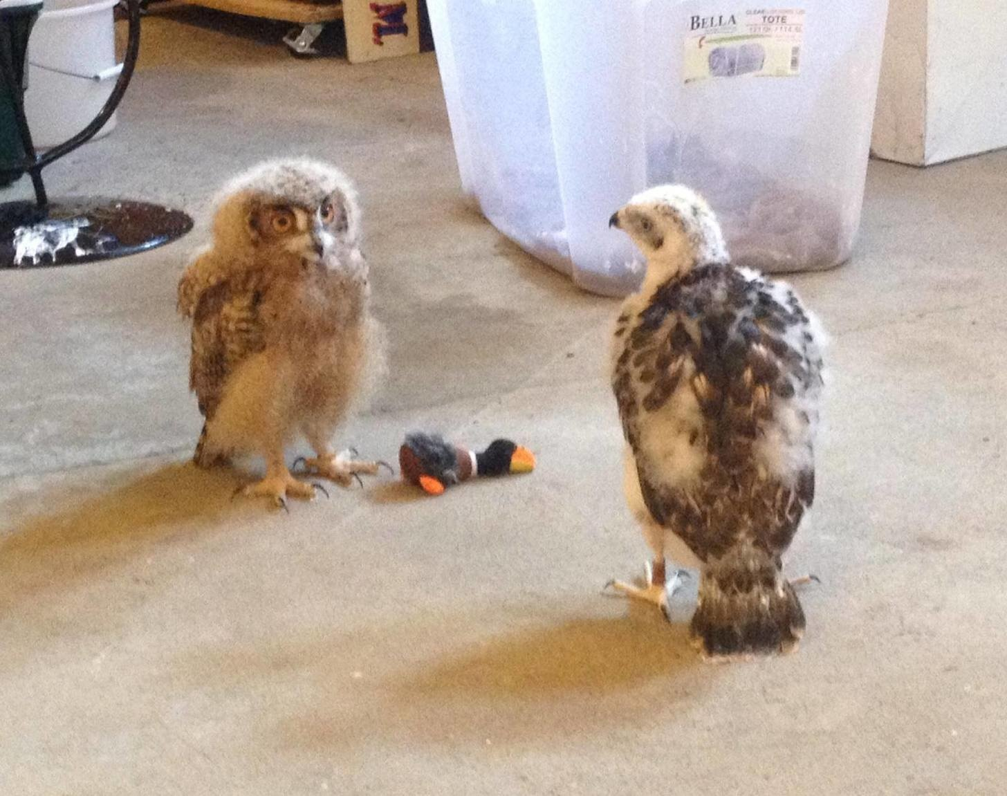 4 - A baby goshawk in the middle of a play-date with a baby owl.