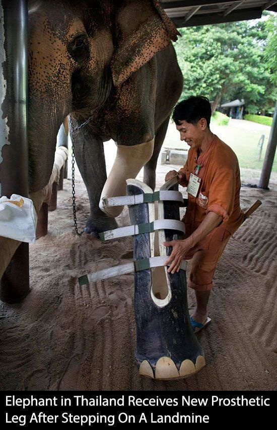 6 - An elephant receiving a prosthetic leg after injuring it from stepping on a land mine.