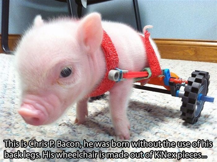 22 - A piglet who was born without back legs who had a wheelchair made for him.