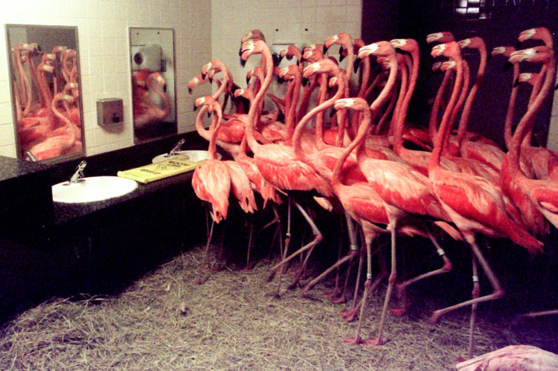 14 - Flamingos shelters in men's room at zoo during hurricane. Over 50 Caribbean flamingos take shelter in the men's room at the Miami Metrozoo during Hurricane Georges, 1998